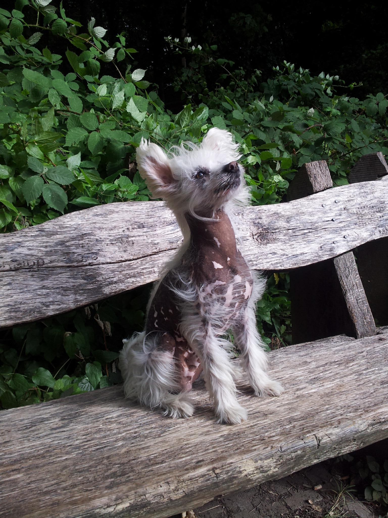 shaved chinese crested for I my this legs